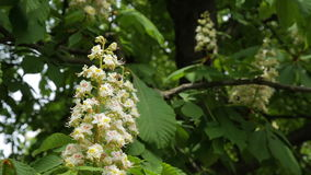 Blooming chestnut. Chestnut tree with blossoming spring flowers - Stock Video stock footage