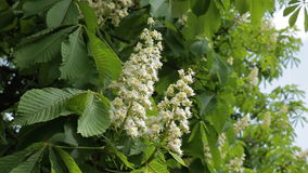 Blooming chestnut. Chestnut tree with blossoming spring flowers - Stock Video stock video