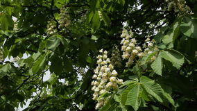 Blooming chestnut. Chestnut tree with blossoming spring flowers - Stock Video. Chestnut tree with blossoming spring flowers stock footage