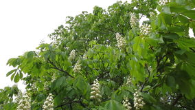 Blooming chestnut. Chestnut tree with blossoming spring flowers - Stock Video stock video footage