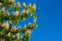 Blooming chestnut flowers Royalty Free Stock Images