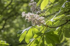 Blooming chestnut in a park in Sofia. Chestnuts Castanea are a family of eight or nine species of trees and shrubs of the family of beech Fagaceae Royalty Free Stock Photography