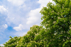 Blooming chestnut tree on blue sky background Stock Photos
