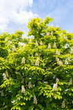 Blooming chestnut tree on blue sky background. Photo is very sharp, can be used for example as a background. Spring sunny day Royalty Free Stock Photo