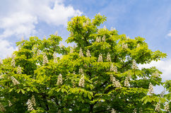Blooming chestnut tree on blue sky background. Photo is very sharp, can be used for example as a background. Spring sunny day Royalty Free Stock Images