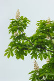 Blooming chestnut tree Stock Photography