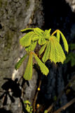 Blooming chestnut tree, close up Stock Photos