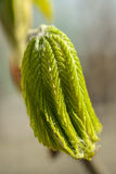 Blooming chestnut tree, close up. park Stock Photography
