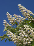 Blooming chestnut tree flowers on the blue sky Stock Images