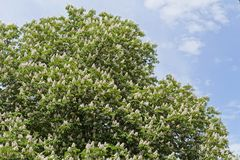 Blooming chestnut tree. In front of blue sky with white clouds stock images