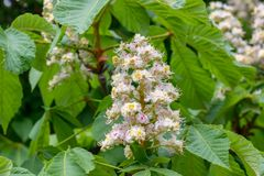 Blooming chestnut tree in the garden on a clear day stock images