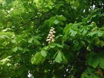 Blooming chestnut. Tree in the park. Stock Images