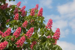 Chestnut tree with red blossoms. Blooming chestnut tree with red blossoms, blue sky with fluffy clouds royalty free stock images