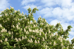Blooming chestnut tree in the spring Royalty Free Stock Images