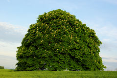 Blooming chestnut trees. Three abloom conkers connected in one tree Stock Image