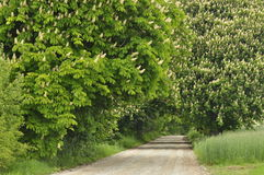Blooming chestnut trees along the gravel road. Early spring Stock Photos