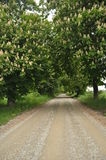 Blooming chestnut trees along the gravel road. Early spring Stock Photography