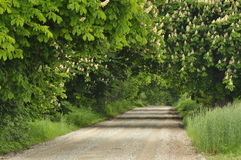 Blooming chestnut trees along the gravel road. Early spring, white flowers Royalty Free Stock Photography
