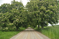 Blooming chestnut trees along the gravel road. Early spring, Stock Image