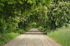 Blooming chestnut trees along the gravel road. Early spring, Stock Photography