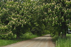 Blooming chestnut trees along the gravel road. Spring, white flowers Stock Photography