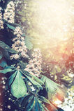 Blooming chestnut trees in garden or park. Royalty Free Stock Photos