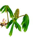 Blooming chestnut Royalty Free Stock Photography