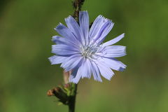 Blooming chicory Stock Images