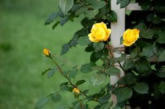 China rose. Blooming China roses in early summer royalty free stock photo