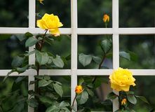 China rose. Blooming China roses in early summer stock images