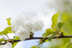 Blooming chinese apple branch with white flowers and green leaves. crabapple tree, Malus prunifolia fruit tree closeup.  Stock Photo