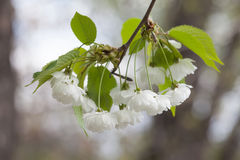 Blooming chinese apple branch with white flowers and green leaves. crabapple tree, Malus prunifolia fruit tree closeup Royalty Free Stock Image