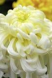 Blooming chinese chrysanthemum. White yellow blooming chinese chrysanthemum Stock Photo