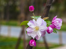 Blooming Chinese flowering apple Stock Image