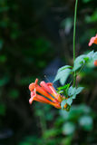 Blooming Chinese trumpet creeper. In shanghai Royalty Free Stock Photos