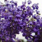Blossoming Wisteria in spring season in garden Royalty Free Stock Images
