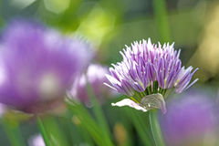 Blooming chive Royalty Free Stock Images