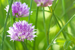 Blooming chive Stock Photos