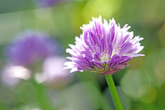 Blooming chive Royalty Free Stock Photo