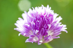 Blooming chive Stock Photography