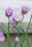 Blooming Chives Stock Photo
