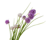 Blooming chives isolated Stock Photography
