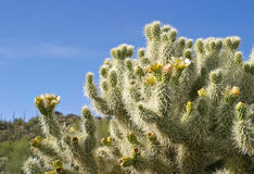 Blooming Cholla Royalty Free Stock Photography