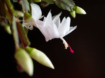 Blooming christmas cactus. On black background royalty free stock images