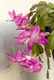 Blooming Christmas cactus Stock Image