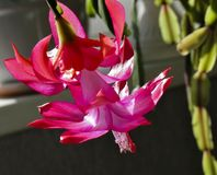 Blooming the Christmas cactus, macro, the upper petals of a flower as delicate scarlet flame Royalty Free Stock Images