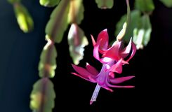 Blooming the Christmas cactus royalty free stock images