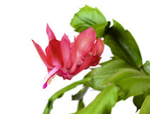 Blooming Christmas Cactus Schlumbergera Stock Photography