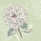 Blooming Chrysanthemum Stock Image