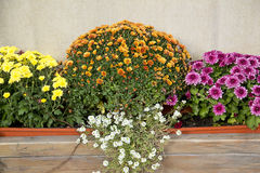 Blooming of chrysanthemum Stock Photos